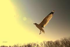 Seagull (AlexRuz) Tags: birds fly wings seagull flight free druidhillcemetery