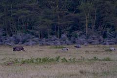Rhino, Zebra, Buffalo & Jackals (robsall) Tags: africa dog nature animal animals landscape buffalo jackal kenya wildlife canine rhino zebra nakuru capebuffalo carnivore zebras riftvalley whiterhino whiterhinoceros canis canismesomelas lakenakuru blackbackedjackal synceruscaffer africanbuffalo plainszebra ceratotheriumsimum wildlifephotography commonzebra equusquagga africanlandscape blackbackjackal boehmszebra grassrhinoceros robsall grassrhino