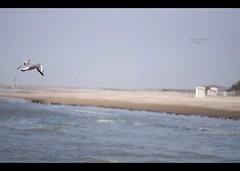 Verso la meta (Barbara Fi@re) Tags: mare ali volo cielo pace spiaggia gabbiano vita libero onde vivere felicit micronikkor105mmf28 paure esistere gradoisolabella pastigliaperlafelicit