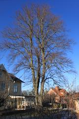 Ett stabilt träd (auzgos) Tags: hus träd lind trädgård solsken stabil vårdträd fotosondag fs120226
