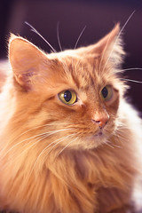 If I had nine lives (anna.elizabeth.) Tags: light sun reflection cute sunshine cat mouth fur nose gold eyes soft shine fat nine adorable rusty kitty fluffy ears whiskers adobe round lives chin learn pupil lightroom ninelives ifeelbetternow webkinz itssofluffyicoulddie ninelivesvideo