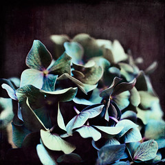 an extremely slow progression (•Sarah P•) Tags: blue flower color green texture violet hydrangea flypaper nikond700 awardtree magicunicornverybest magicunicornmasterpieces •sarahp• anextremelyslowprogression sarahputerbaugh