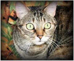Los ojos de mi tigresa... (Mara Pilar_trl - Off) Tags: guapa gatita tigresa issis miradaintensa catnipaddicts