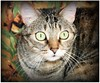 Los ojos de mi tigresa... (María Pilar_trl -) Tags: guapa gatita tigresa issis miradaintensa catnipaddicts