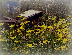 Allan Edgar Poe ... Dream within a Dream.......... (Reija-Marika) Tags: flowers cemetery yellow sydney australia dreams waverly allanedgarpoe