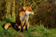 Look Left (Peter G Trimming) Tags: wildlife centre surrey peter fox british trimming flo vixen 2012 newchapel vulpes