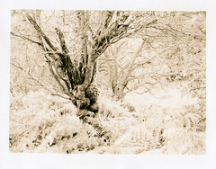 Loch Lomond (Ivan B Palli) Tags: trees print scotland highlands kodak lith lochlomond se5 moersch bromesko