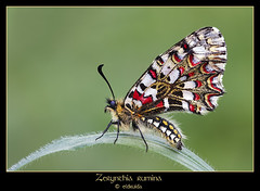 En la ola (El druida) Tags: insectos color macro colors beauty closeup composition canon butterfly bug insect ojo spain rojo alba bokeh insects bugs 100mm bichos mariposa mariposas bicho insecto ourense hierba druida composicin zerynthia monterrei vern zerynthiarumina rumina 40d macrofoted eldruida bgndaxd