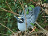 Yellow-crowned Night-Heron 3-20120306 (Kenneth Cole Schneider) Tags: birds florida miramar browardcounty yellowcrownednightheron