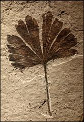 ~Ginkgo Fossil~ (R. Drozda) Tags: seattle canada fossil washington britishcolumbia smithers burkemuseum moreorless ginkgoleaf drozda 50millionyearsold