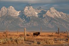 The Wild West (Amy Hudechek Photography) Tags: mountains west fall fence buffalo tetons grandtetonnationalpark gtnp mygearandme mygearandmepremium