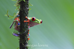 Green (Megan Lorenz) Tags: red wild green eye nature rainforest costarica symbol wildlife amphibian frog getty february treefrog centralamerica 2012 agalychniscallidryas redeyedtreefrog gaudyleaffrog mlorenz meganlorenz