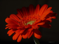 Gerbera (yvonnepay615) Tags: orange flower lumix ngc panasonic gerbera g1 45mm autofocus