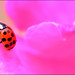Ladybug on Rose, Point Defiance Park, Tacoma, Washington