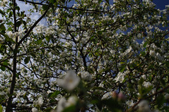 sides (Konstantin Leonov) Tags: flowers sky digital raw blossom russia gimp filter polarizer 空 appletree copyleft ufraw freephoto plfilter hoyapl nocopyright freeimage nikkor35f14 nikkor35mmf14ais cc0 d5100 noattributionrequired