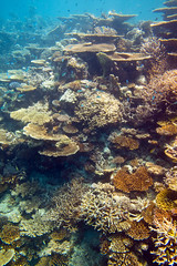 Diving Maldives: Large Tabel coral garden (Acropora latistella) (Mal B) Tags: male coral garden island underwater north large diving tropical maldives tabel acropora atols bandos latistella divingfishcoral httpmalbuktumblrcom