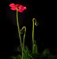 More Backlit Icelandic Poppies (Bill Gracey) Tags: lighting flowers red flores green nature fleur blackbackground blossom sb600 highcontrast stems buds backlit dramaticlighting backlighting strobe macrolens macrophotography mohn strobes amapolas coquelicots icelandicpoppies darkbackground offcameraflash pavots nikoncreativelightingsystem nikoncls tabletopphotography sb700