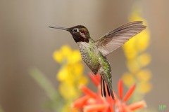 Anna's Hummingbird 031512-6 (luluhachidori) Tags: california pink orange bird canon eos hummingbird purple allens southern 7d annas costas   allofnatureswildlifelevel1 allofnatureswildlifelevel2