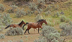 Keeping up with mom (littlebiddle) Tags: wild horses nature animals mammal washington wildlife mustangs highqualityanimals