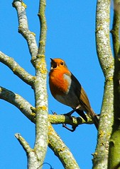 DSC_0011 Robin (PeaTJay) Tags: robin birds carlsbirdclub