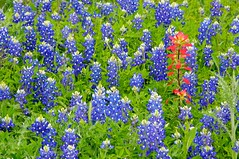 Non Conformist (Ken'sKam) Tags: nature spring texas wildflowers bluebonnets indianpaintbrush
