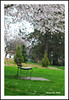 Will You Come And Sit By Me - Cherry Blossoms Queen Elizabeth Park N8841e (Harris Hui (in search of light)) Tags: white canada green vancouver bench cherry spring nikon mood bc time blossoms atmosphere richmond simplicity cherryblossoms simple citypark sentimental queenelizabethpark qepark macrolens f35 d300 105mm emptychair lifeissimple nikonuser nikon105mmmacro lonelybench benchinthepark nikond300 harrishui vancouverdslrshooter emptychairsinemptyplacesgroup pleasereadmepoetry havehappinessinsimplicity willyoucomeandsitbyme