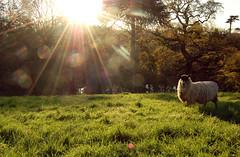 Sunny sheep (Tegan Howard) Tags: summer sun nature spring warm sheep natural peaceful shunshine summerevenings teganhoward poppetpup