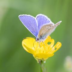 Papillon (chouca69) Tags: macro nature fleur butterfly lyon champs papillon couleur insecte rhnealpes proxi dardilly argusbleu