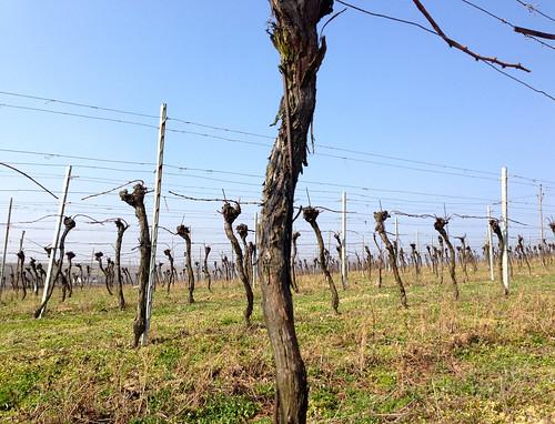 Poysdorf Vineyard Spring 2014 - 2