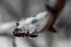 Frozen Bud