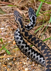 """""""Dance of the Adders"""" in the sun (its that time of the year again!) (One more shot Rog) Tags: hot nature fauna dance dancing wildlife v viper zigzag adder poisonous venomous basking zigzags adders vipers onemoreshotrog adderdance rogersargentwildlifephotography britishwiildlifecentre"""