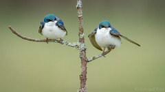 Tree Swallow (Tachycineta bicolor) (ER Post) Tags: bird us unitedstates michigan swallow ravenna treeswallowtachycinetabicolor