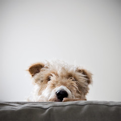 Peek-a-boo (LucysView (Off for a while, back Dec 2016!)) Tags: cute fur furry funny peekaboo playful sneaky foxterrier dogbiscuit funandgames wirehairedfoxterrier lucyspiers