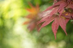 Rare sun on a windy and rainy day / Acer palmatum ...HMM! (stefan_zwi) Tags: maple dof bokeh sony acer a7 palmatum ahorn helios442 fcherahorn justleaves macromondays ilce7