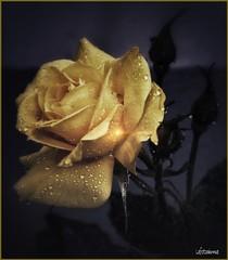 Elegant (lefotodiannae) Tags: tea rosa acqua rugiada pioggia gialla lefotodiannae