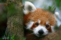 Red Panda (syphrix photography) Tags: china red canon river fur mammal zoo singapore panda wildlife tail reserve conservation safari species shaggy endangered eastern lesser himalayas southwestern 2016 reddishbrown arboreal ailurus fulgens syphrix