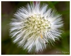 Summer is coming... (KWinters Photography) Tags: white macro green nature colors closeup landscape nikon colorado dandelion nikkor flickrnature d5500 nikondsl