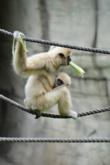 Mama with celery (citizen for boysenberry jam) Tags: wild animals zoo texas waco waza gibbon aza cameronparkzoo whitehandedgibbon