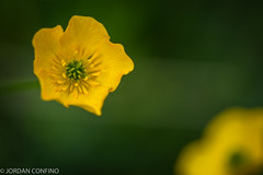 Buttercup (jkc916) Tags: flower macro yellow day buttercup small