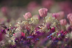 im Seepark (nirak68) Tags: flower deutschland spring blossom doubleexposure rosa blumen lila mai forgetmenot blau beet tulipa frhling tulpe blten ger wallflower erysimum brassicaceae vergissmeinnicht narzisse myosotis boraginaceae weis eutin seepark doppelbelichtung goldlack schterich kreuzbltler erysimumcheiri 130366 raublattgewchs schleswigholsteinkreisostholstein lgs2016 2016ckarinslinsede landesgartenschaueutin substategardenshow