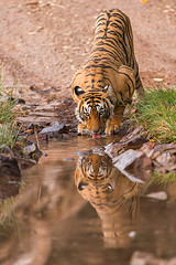 ADS_0000103012 (dickysingh) Tags: wildlife tiger tigers ranthambore indianwildlife ranthambhorenationalpark