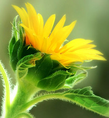 its spring again (Ani Carrington) Tags: yellow spring sunflower