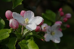 Apple blossom (II) (dididumm) Tags: pink white tree apple sunshine spring blossom weiss baum apfelbaum frhling newlife sonnenschein inbloom apfelblte neuesleben blhend burgfrieden