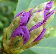 0868 Rhododendron (Andy in relax mode) Tags: flowers purple rhododendron buds rrr ppp fff bbb gardenflower 20160512