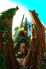 IMG_9823 (rogerbtree) Tags: seattle trees chainsaw logging cranes arborist treeremoval ropeaccess treeservice lakeforestparkwa