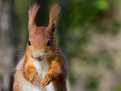 Always happy (FocusPocus Photography) Tags: animal squirrel wildlife tier eichhrnchen sciurusvulgaris monrepos wildtier
