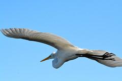 GREAT EGRET (concep1941) Tags: nature birds outdoor egrets sandbars heronfamily watersides saltandfreshwatermarshes