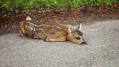 Scared Fawn (zalan.farkas) Tags: morning forest work way deer fawn scared soctland