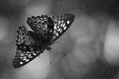 Moth In The Window (ArtofScholle) Tags: vanessa blackandwhite bw nature water glass lady contrast canon dark insect wings cosmopolitan pattern painted moth spots micro stm cardui 70d bokah 18135mm