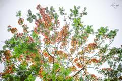 Summer's scent (Dino Ngo | +84-936366238) Tags: summer tree dino hanoi ngo hoa ni littlehanoi h phng flamboyance dinongo